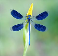 dragonfly. Beautiful blue