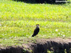 Caracará (Caracara plancus) fotografado em Holambra/SP em Maio/14.