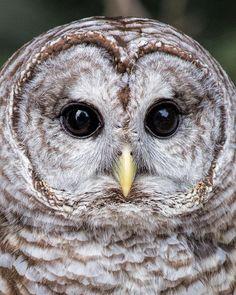 Barred Owl Close Up Photograph