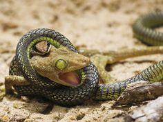 Snake Eating Gecko