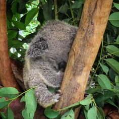 Sleeping baby Koala #CutenessOverload #OldPhotos #BungalowBayKoalaVillage #MagneticIsland #Queensland #Koala #BabyKoala #Australia #Y2011 Baby Koala, Baby Sleep, Old Photos, Australia, Bear, Island, Instagram Posts, Animals, Old Pictures