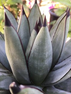 "Photo of Crown Valley Nursery - ""Agave 'Blue Emperor'"" - Pasadena, CA Succulent Landscaping, Landscaping Plants, Rare Plants, Exotic Plants, Cacti And Succulents, Planting Succulents, Valley Nursery, Cactus Plante, Drought Tolerant Landscape"
