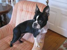 Our darling Darla is a purebred female Boston terrier that is 5 years old and weighs now, but could use a few more. When we first got her, she weighed even less and was very depressed and it was hard to get her to eat. Boston Terrier Rescue, Boston Terriers, North Augusta, 5 Year Olds, Depressed, 5 Years, Doggies, Cute Dogs, Mindfulness