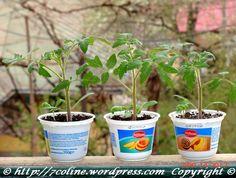 rasaduri de rosii 3 Planter Pots