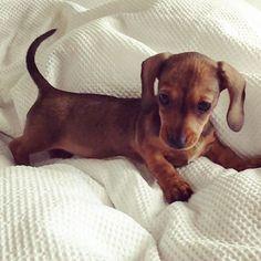 Miniature dachshund More