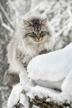 Winter kitteh