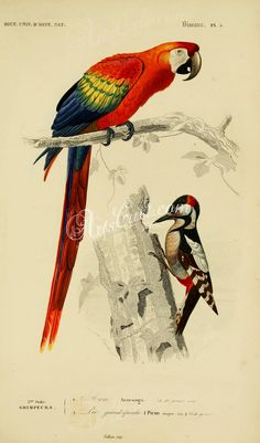 Scarlet Macaw, Great Spotted Woodpecker      ...