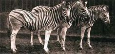 Specimens from the extinct population of Burchell's Zebra, 1886