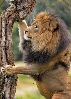Izu does some tree climbing in Lion Camp. San Diego Zoo Safari Park, January 26, 2014 Izu_25Q6310