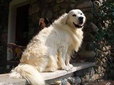 156 Best Golden Retrievers Us Lost Dog Registry Images