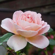 おはようございます  我が家の薔薇 〜過去pic〜 #rose#roses#rosegarden #薔薇#ばら#バラ #花#flower#flowers #pink#ピンク #garden#gardening #ガーデン#ガーデニング #私の庭 #beautiful#cute#love#happy #綺麗#美しい #写真好きな人と繋がりたい #写真撮ってる人と繋がりたい #ファインダー越しの私の世界 #instaphoto#instaflower #instagood#instalik