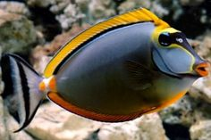 Naso Tang. I love this picture of one of my favorite fish.