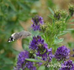 la mariposa colibrí, Macroglossum stellatarum, libando flores de alfalfa.