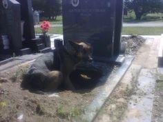 ✔Спасение животных. Овчарка в могиле своего хозяина выкопала яму