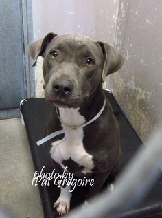 A4848766 I am a very friendly 3 yr old female blue\/white pit bull mix. I came to the shelter as a stray on June 27. available 7\/1\/15 NOTE: Pit bulls are not kept as long as others so those dogs are always urgent!! Baldwin Park shelter