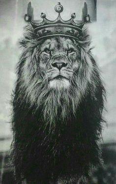 Lion of Judah Animals Beautiful, Cute Animals, Wild Animals, Farm Animals, Lion Photography, Lion Love, Lion Pictures, Lion Of Judah, Lion Art