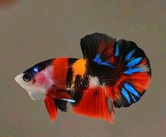 If you want to know how to take care of Betta fish, this article will help you get started and get rid of some of the most common misconceptions that people have about these fish. Betta Aquarium, Koi Betta, Tropical Fish Aquarium, Betta Fish Tank, Beta Fish, Freshwater Aquarium Fish, Jellyfish Aquarium, Tropical Freshwater Fish, Fish Tanks