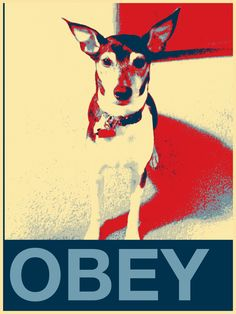 OBEY The Rat Terrier!
