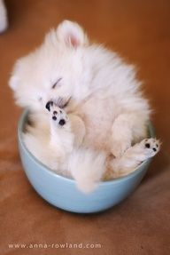 teacup Pomeranian. Thank you, yes. I like my tea sweet and fuzzy.