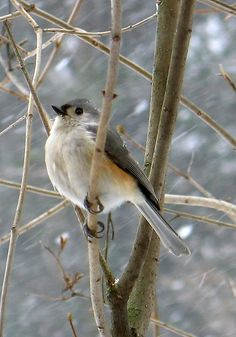 Tufted Titmouse in winter