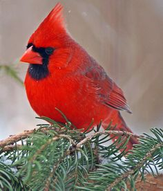 A Male Northern Cardinal.  (Photo By: Cherylorraine Smith on 500px.)
