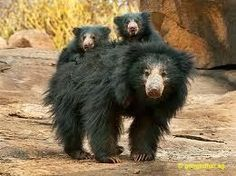 'Sloth Bear With Cubs' - photo by Gangadhar AG; mom with two cubs hitching a ride. This must be my spirit animal! Pictures Of Sloths, Bear Pictures, Animal Pictures, Arctic Animals, Nature Animals, Animals And Pets, Wildlife Nature, Sloth Bear, Bear Cubs