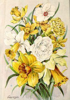 1908 Child's Seed Catalog Narcissus (via Bloglovin.com )