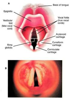 vocal folds speech-language-and-hearing-resources
