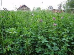 Apilanurmi - luomutuotannon perusta. Apila sitoo ilmasta typpeä bakteerien avulla. Tämä typpi tulee lopulta viljelykasvien käyttöön. Nerokasta!