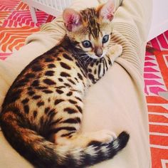 love the markings on this lil guy - Bengal Kittens - Ideas of Bengal Kittens - love the markings on this lil guy The post love the markings on this lil guy appeared first on Cat Gig. Animals And Pets, Baby Animals, Cute Animals, Beautiful Cats, Animals Beautiful, Kittens Cutest, Cats And Kittens, Kitty Cats, Cat Love