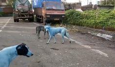 青い犬産業廃棄物が野良犬の毛を青く染めたインド
