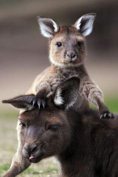 A joey with his Mum. Love kangaroos :-)   ...........click here to find out more     http://googydog.com