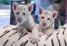 Siegfried and Roy cubs | , left, and Mohan on a stuffed life-sized tiger at Siegfried & Roy ...