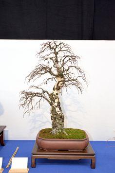 Birch tree - Noelanders Trophy