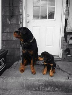 """Obtain terrific recommendations on """"Rottweiler puppies"""". They are actually readily available for you on our web site. Pyrenees Puppies, Great Pyrenees Puppy, Rottweiler Facts, Rottweiler Puppies, Beagle, German Dog Breeds, Bulldog Breeds, Pet Breeds, Training Your Dog"""