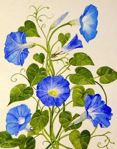 "abingdonarts: This shade of blue is called Heavenly Blue, and it is an amazingly vibrant blue. Morning glories come in many shades but the vibrant blues are my favorite.This is an original watercolor painting on Arches 140 lb. Hot Press watercolor paper measuring 11""x14"". Painting will be shipped flat, unframed.Prints are also available in 8x10' and 11x14"".Painting comes mounted on foam core and inside a clear plastic sleeve. It will be mailed in a rigid cardboard mailer. I do have a custom"