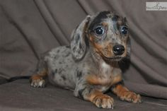 Jazlyn Dapple Female Miniature Dachshund Puppy Dachshund Puppy Miniature Miniature Dogs Dachshund Dogs For Sale