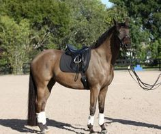 Panax - Beautiful Amateur friendly, imported ten-year-old Trakehner gelding schooling Third level. Shown 2nd with scores in the high 60's. Qualified in 2015 for Regional Championship with Amateur owner. Sadly for sale due to owner moving overseas. $55,000