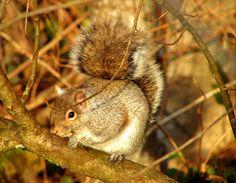 Squirrel on Shoreline Trail, Port Moody, B.C. - 2008