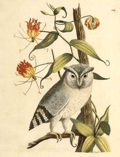 Owl. Indian Zoology. Johann Reinhold Forster. (1790). Scan of 2 d ...