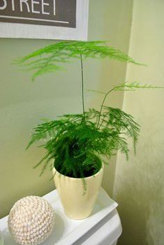 Houseplant - Feathery Asparagus Fern Low light ok but needs humidity Green Plants, Air Plants, Potted Plants, Asparagus Fern, Decoration Plante, Low Light Plants, Young House Love, Bathroom Plants, Outdoor Plants