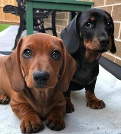 """Explore our internet site for even more info on """"dachshund puppies"""". It is a superb place for more information. Dachshund Funny, Dapple Dachshund, Wire Haired Dachshund, Dachshund Puppies, Weenie Dogs, Dachshund Love, Cute Puppies, Pet Dogs, Dog Cat"""