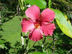 Cayena fucsia (Hibiscus rosa-sinensis)