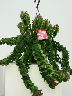 Aeschynanthus Twister XL. By BS Plant