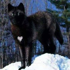 Beautiful black wolf ON its Chest. Makes for a Special Wolf. Wolf Spirit, My Spirit Animal, My Animal, Funny Animal, Wolf Love, Wolf Pictures, Animal Pictures, Beautiful Creatures, Animals Beautiful