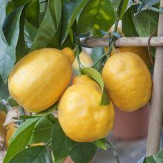 http://www.rustica.fr/ - Les agrumes : fiche de culture - Le citronnier