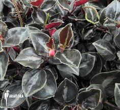 Peperomia-metallica-var-colombiana-3.jpg (700×642)