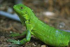 Iguana, animal exótico. http://www.auxiliaresdemadrid.com/asistente-veterinario-con-especializacion-en-cirugia-y-etologia/