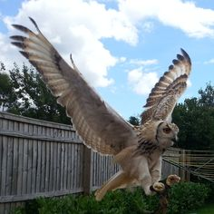 owl catching prey - Google Search
