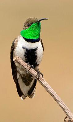 White-sided Hillstar (Oreotrochilus leucopleurus). A South American hummingbird found at high altitudes. photo: Walter Baliero C.